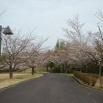 ソメイヨシノ (2)